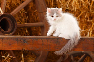 British Longhair, kitten with blue-van colouration age 10 weeks in barn with straw. - Petra Wegner