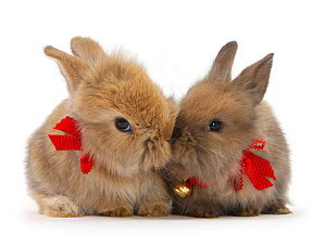 Two baby Lionhead cross rabbits wearing bells and ribbons.  -  Mark Taylor