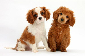 Blenheim Cavalier King Charles Spaniel puppy, age 11 weeks, with apricot miniature poodle pup, age 8 weeks. - Mark Taylor