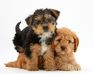 Cavalier King Charles spaniel x Poodle cross 'Cavapoo' puppy, age 7 weeks, and Yorkshire Terrier pup age 8 weeks. - Mark Taylor