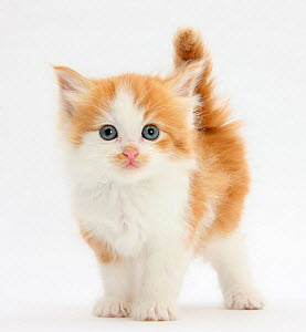 Ginger and white kitten looking at camera.  -  Mark Taylor