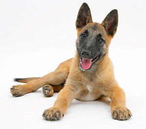 Belgian Shepherd Dog pup, age 10 weeks resting and panting. - Mark Taylor