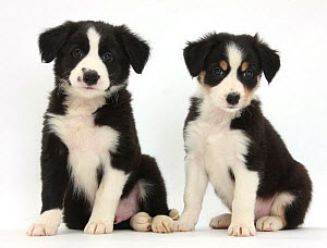 RF- Border Collie puppies, age 6 weeks. (This image may be licensed either as rights managed or royalty free.) - Mark Taylor