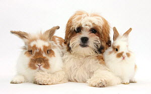 Maltese x Shih tzu 'Mal Shi' pup, Leo, age 13 weeks, with sandy and white rabbits. NOT AVAILABLE FOR BOOK USE - Mark Taylor