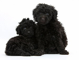 Black toy Labrador x Poodle 'Labradoodle' puppies. - Mark Taylor