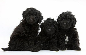 Three black toy Labrador x Poodle 'Labradoodle' puppies. - Mark Taylor