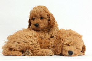 Golden retriever x Poodle (F1b) 'Goldendoodle' puppies, resting. - Mark Taylor
