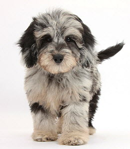 Black and grey Daschund x Poodle 'Daxie doodle' puppy, walking. - Mark Taylor