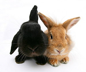 Black lop rabbit with 'Windmill ears' and sandy Lionhead cross rabbit. - Mark Taylor