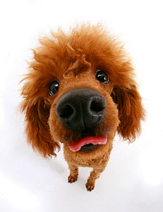 Red toy poodle looking up at camera an sticking out tongue. - Mark Taylor