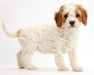 Cute red and white Cavalier King Charles Spaniel x Poodle 'Cavapoo' puppy, 6 weeks, standing. - Mark Taylor