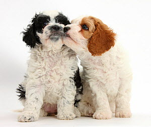 Cavalier King Charles Spaniel x Poodle 'Cavapoo' puppies, age 6 weeks. - Mark Taylor
