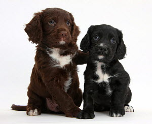 Black and chocolate Cocker Spaniel puppies. - Mark Taylor