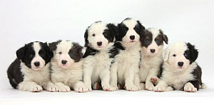 RF- Six Border Collie pups, four with black and white and two  blue and white with colouration. (This image may be licensed either as rights managed or royalty free.) - Mark Taylor