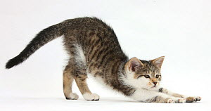Tabby and white kitten stretching.  -  Mark Taylor