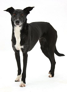 Lurcher standing. - Mark Taylor