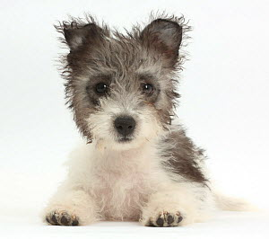 Jack Russell x Westie puppy age 12 weeks. - Mark Taylor