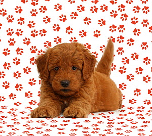 Golden Retriever x Poodle 'F1b Goldendoodle' puppy on paw print background. - Mark Taylor