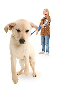 Girl walking Yellow Labrador Retriever pup, age 4 months, straining on leash. - Mark Taylor