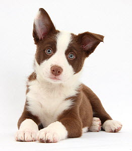 Chocolate Border Collie bitch puppy. - Mark Taylor