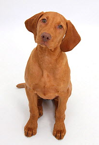 Hungarian Vizsla puppy, age 13 weeks sitting and looking up. - Mark Taylor