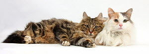 Tabby Maine Coon tom cat and Turkish Van female cat lying together.  -  Mark Taylor