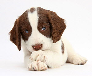 Working English Springer Spaniel puppy, 6 weeks, lying with crossed paws.  -  Mark Taylor