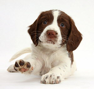 Working English Springer Spaniel puppy, 6 weeks, lying with head up and pointing a paw.  -  Mark Taylor