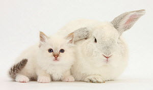 Colourpoint kitten and white rabbit. NOT AVAILABLE FOR BOOK USE - Mark Taylor