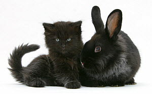 Black kitten with black Lionhead cross rabbit. NOT AVAILABLE FOR BOOK USE - Mark Taylor