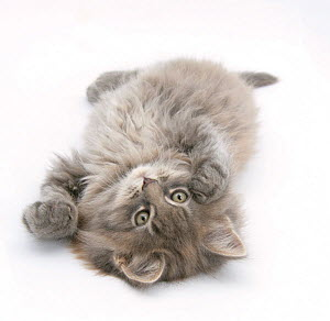 Maine Coon kitten, 8 weeks, lying on its back, looking up in a playful manner.  -  Mark Taylor