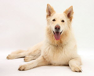 White German Shepherd Dog, age 5 years.  -  Mark Taylor