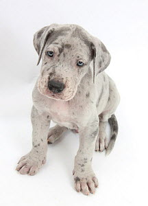 Great Dane puppy sitting and looking up.  -  Mark Taylor