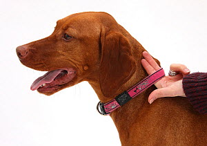 Using two fingers to check that the collar is correctly fitted on Hungarian Vizsla. - Mark Taylor