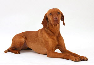 Hungarian Vizsla bitch, lying with head up. - Mark Taylor