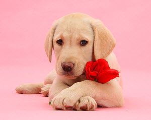 Yellow Labrador Retriever bitch pup, 10 weeks, with a red rose and crossed paws. - Mark Taylor