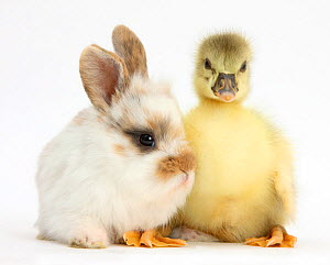 Gosling and baby bunny. NOT AVAILABLE FOR BOOK USE - Mark Taylor