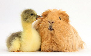 Gosling and long haired guinea pig. NOT AVAILABLE FOR BOOK USE  -  Mark Taylor