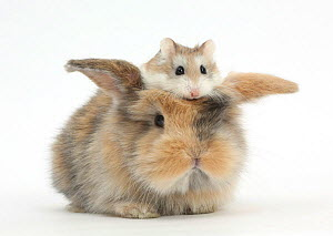 Baby rabbit with a Roborovski Hamster (Phodopus roborovskii) sitting on its head. NOT AVAILABLE FOR BOOK USE - Mark Taylor