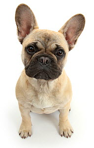 RF- French Bulldog sitting looking up. (This image may be licensed either as rights managed or royalty free.)  -  Mark Taylor