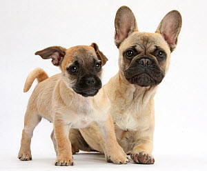 Pug x Jack Russell Terrier 'Jug' puppy, age 9 weeks, and French Bulldog  -  Mark Taylor