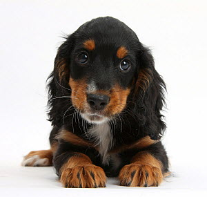 Tricolour working Cocker Spaniel puppy, age 9 weeks.  -  Mark Taylor