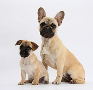Pug x Jack Russell Terrier 'Jug' puppy, age 9 weeks, and French Bulldog.  -  Mark Taylor