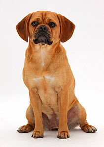 Beagle x Pug 'Puggle' bitch, age 1 year, sitting. - Mark Taylor