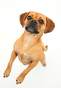 Beagle x Pug 'Puggle' bitch, age 1 year, standing up on hind legs - Mark Taylor