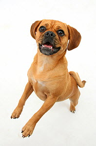 Beagle x Pug 'Puggle' bitch, age 1 year, standing up on hind legs. - Mark Taylor