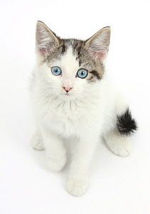 Blue eyed tabby and white Siberian cross kitten, age 13 weeks. - Mark Taylor
