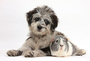 Blue merle Collie and Poodle 'Cadoodle' puppy and silver and white guinea pig. NOT AVAILABLE FOR BOOK USE - Mark Taylor