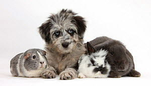 Blue merle Collie and Poodle 'Cadoodle' puppy with silver and white guinea pig, black and white baby rabbit and blue Lop rabbit. NOT AVAILABLE FOR BOOK USE - Mark Taylor