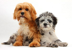 Blue merle Collie and Poodle 'Cadoodle' and Cavalier King Charles Spaniel x Poodle 'Cavapoo' puppies. - Mark Taylor